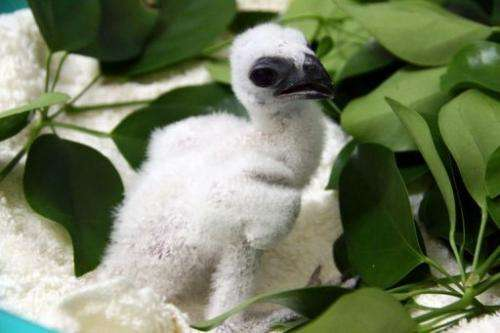 A spokeswoman said the chick represented the first success of an 11-year-old captive breeding programme