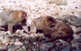 Wild monkeys watch fights to exploit losers for grooming