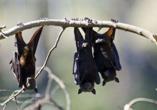 Bats use sonar signals to navigate in dark spaces, known as echolocation