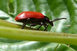 Beetles used as biological control against invasive exotic plant in Florida