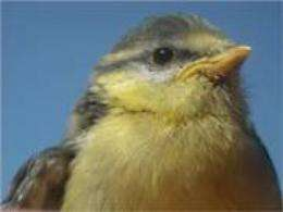 Better looking birds have more help at home with their chicks