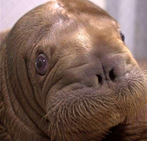 Big baby walrus coming to NYC aquarium