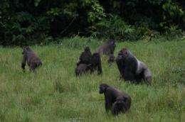 Bigger gorillas better at attracting mates and raising young