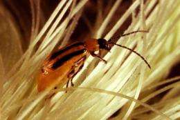 Bigger refuges needed to delay pest resistance to biotech corn