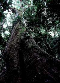 Big trees face 'dire future'
