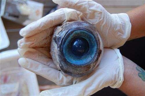 Biology prof says eyeball may belong to big squid