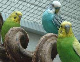 Bird brains follow the beat