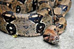 Boa constrictors can sense the heartbeat of their quarry as they suffocate it