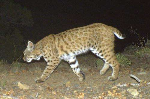 Bobcats more likely to get diseases from urban areas, scientists say