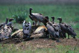 Cambodia remains last vulture bastion in Southeast Asia