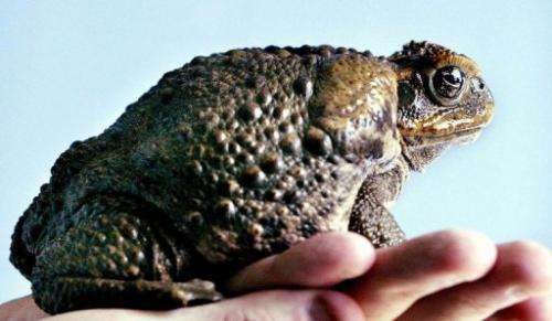 Cane toads are warty, leathery creatures with a venom sac on their heads toxic enough to kill snakes and crocodiles