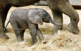 Captive elephants suffer from a narrowing gene pool