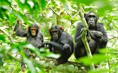 Chimps self-medicate under human pressure