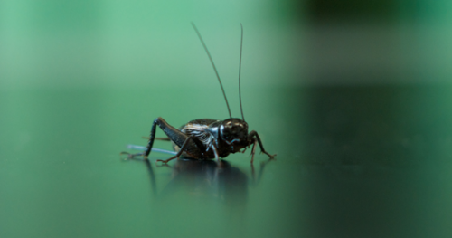 Cold cricket case could defrost mysteries of changing climate