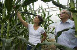 Corn: Many active genes - high yield