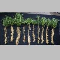 Crop root study to boost Australian grain production