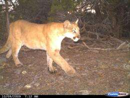 Domestic cats, and wild bobcats and pumas, living in same area have same diseases