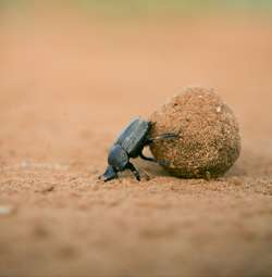 Dung beetle dance provides crucial navigation cues