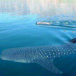 Emerging whale shark 'crisis' in China