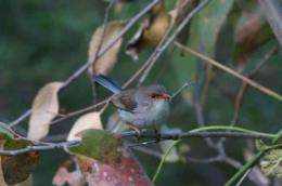 Fairy-wren babies need password for food