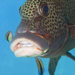 Familiarity breeds contempt in cleaner fish