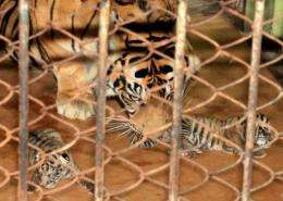 Fewer than 400 Sumatran tigers are left in the wild