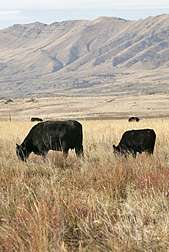 Finding new forages for rangeland cattle