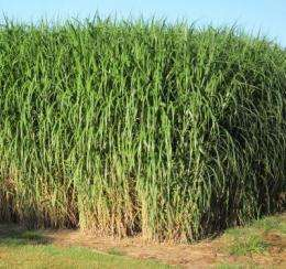 Findings prove Miscanthus x giganteus has great potential as an alternative energy source