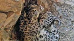 First ever videos of snow leopard mother and cubs in dens recorded in Mongolia