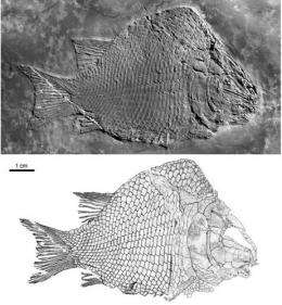 First-known ginglymodian fish found from the middle triassic of Eastern Yunnan Province, China