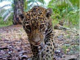 First photos ever of jaguars in Colombian oil palm plantation taken with Panthera's camera traps