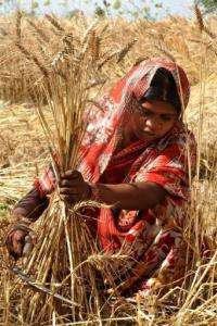 Fluctuations in wheat yields in India have also been attributed by farmers to temperature
