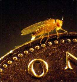 Fruit flies get kidney stones too!