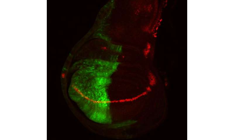 Fruit fly studies guide investigators to misregulated mechanism in human cancers