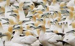 Gannet foraging sharpens thinking about marine conservation
