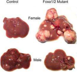 Gender differences in liver cancer risk explained by small changes in genome
