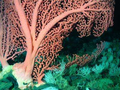 Genetic patterns of deep-sea coral provide insights into evolution of marine life