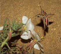 Got nectar? To hawkmoths, humidity is a cue