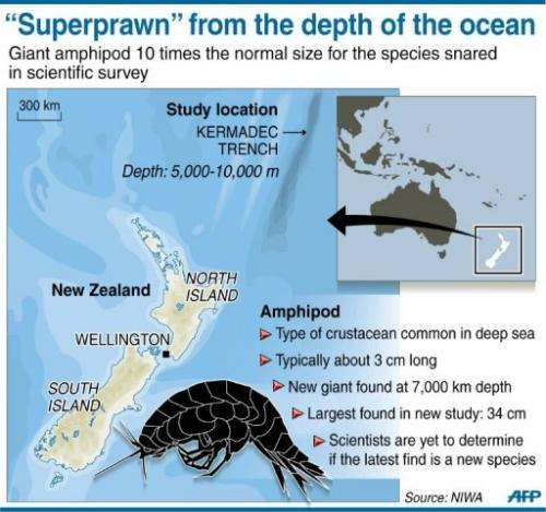 """Graphic on the discovery of a """"supergiant"""" crustacean in a deep-sea trench off the coast of New Zealand"""
