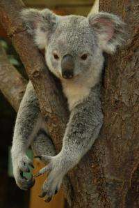 Hanging in there: Koalas have low genetic diversity