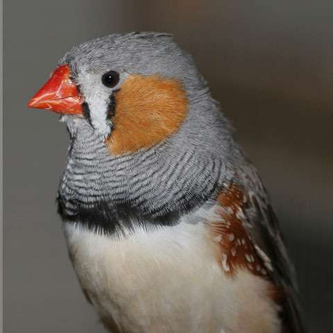 Hatching order influences birds' behaviour