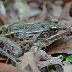 Hiding in plain sight: Scientist discovers new frog species in New York and New Jersey