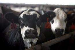 Holstein with mad cow disease was lame, lying down (AP)