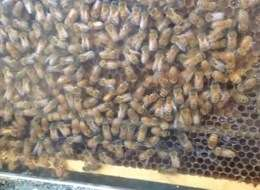 Honeybee disease investigated through hive microbes reseach