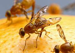 Hormone therapy for fruit flies means better pest control