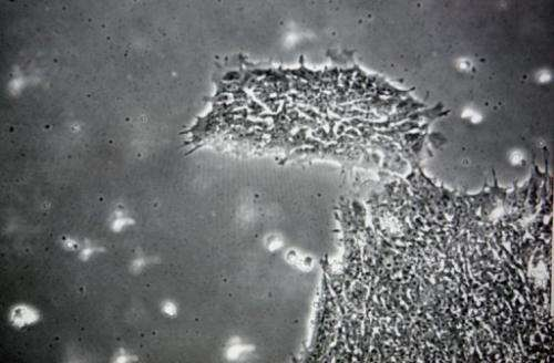 Human embryonic stem cells, now superseded in some research by induced pluripotent stem cells