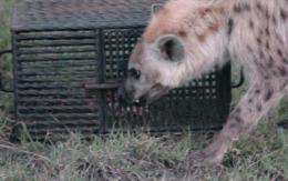 Hyenas that think outside the box solve problems faster