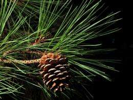 Improved loblolly pines better for the environment, study finds