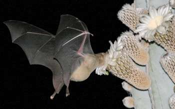 Insect-eating bat outperforms nectar specialist as pollinator of cactus flowers