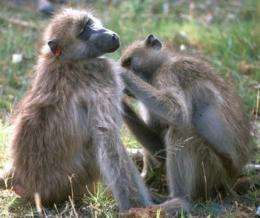 In the baboon social network: 'Nice' gals may finish first